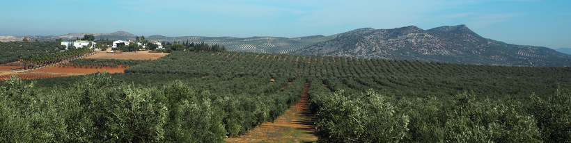 Olive grove from Las Valdesas (Andalusia)