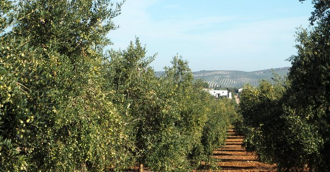 Finca Las Valdesas, olive trees and olive mill